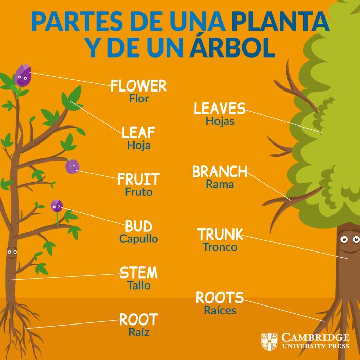 Vocabulario partes del rbol y las plantas en ingl s for Las partes de un arbol en ingles
